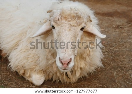sheep looking,lone long hair sheep in meadow eating grass in grassland farm, landscape of grass field , alive eye animal background, livestock