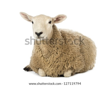 Sheep lying against white background - stock photo