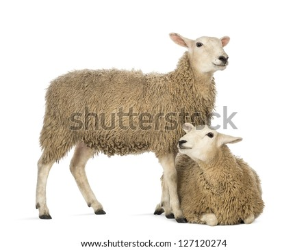Sheep lying in front of another standing against white background - stock photo