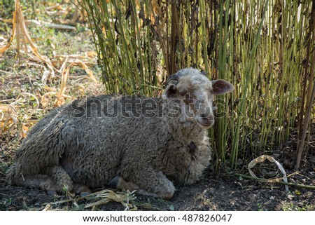 Sheep lying in the shade of green bush hiding from the heat