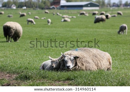 Sheep mother and lamb laying on the gras in a field full of sheep - stock photo