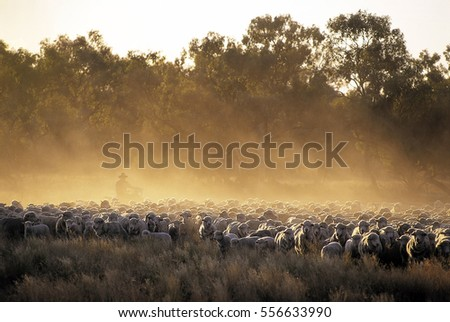 sheep mustering at dawn in Western New South Wales, Australia.