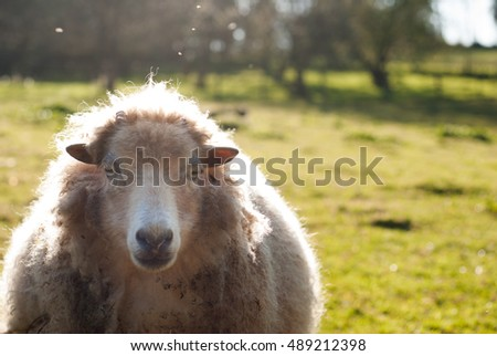 Sheep of ouessant taken by face backlighting