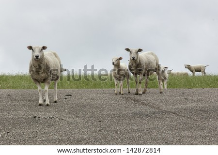 sheep on a dike