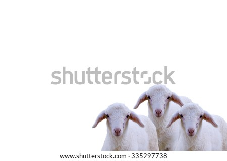 Sheep on a farm  isolated on white background,beautiful sheep, sheep standing in farming of thailand.    - stock photo