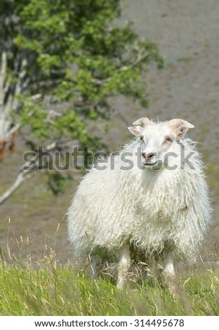 Sheep on a green meadow under the tree in Iceland.