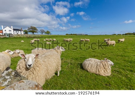 Sheep on a Green Meadow with Blue Sky - stock photo