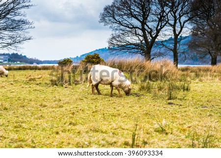 Sheep on a Hill in Snowdonia National Park, Wales, UK.