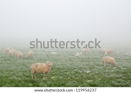 Sheep on a meadow in Winter in the mist with ice on the grass