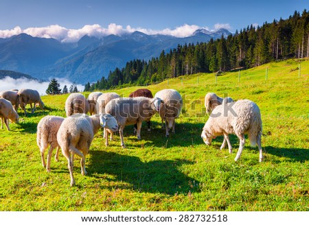 Sheep on alpine pasture in sunny summer day. Triglav National Park, Juliann Alps, Slovenia, Europe. - stock photo