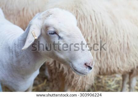 sheep on farmers market - stock photo