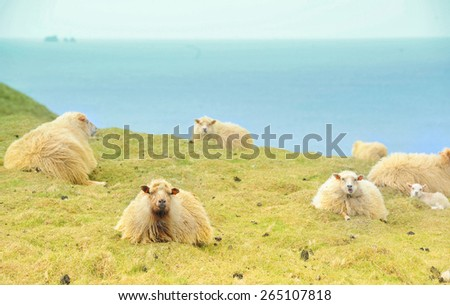 sheep on field Iceland - stock photo
