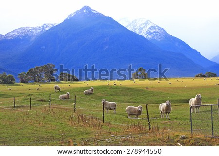 sheep on field in the south Island, New Zealand - stock photo