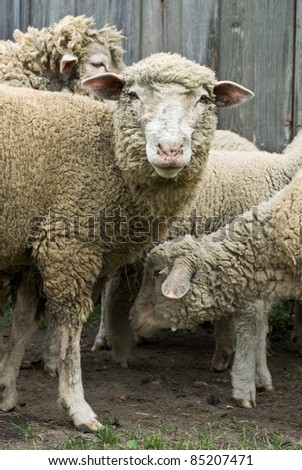 sheep on grass with blue sky, some looking at the camera - stock photo
