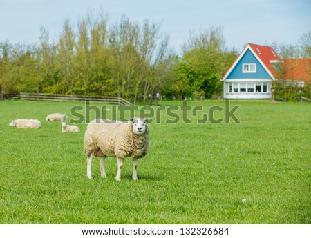 Sheep on green meadow on dutch island Texel - stock photo