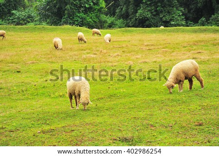 Sheep on in Green Meadow