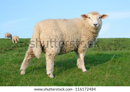 sheep on land, on north land in germany - stock photo