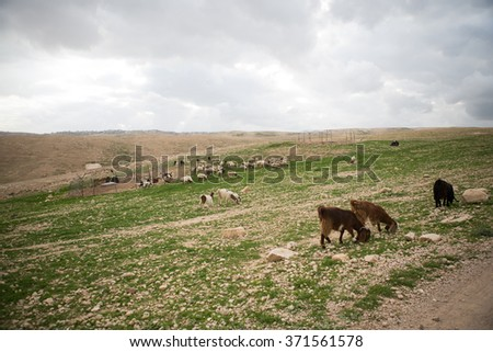 Sheep on pasture in Israeli mountains in spring - stock photo