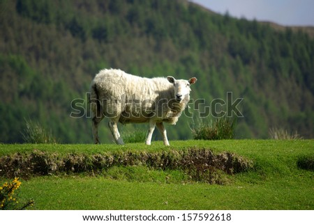 Sheep on pasture in Scotland in summer day