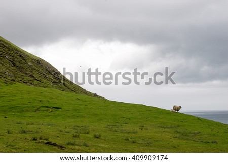 Sheep on the Faroe Islands, with sea and green grass and rocks