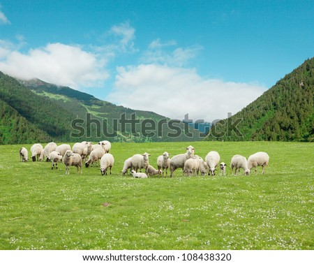 Sheep on the grass - stock photo