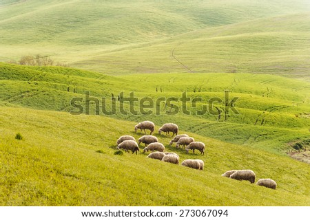 Sheep on the green spring field in the morning - stock photo