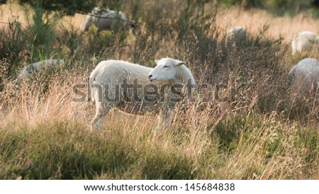 Sheep on the Heather