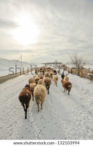 Sheep on the road in winter - stock photo
