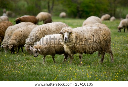Sheep out grazing