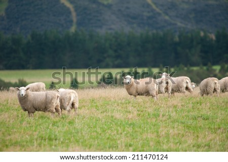 Sheep over a hill - stock photo