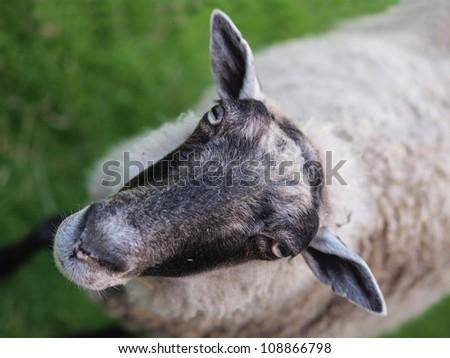 Sheep portrait - stock photo
