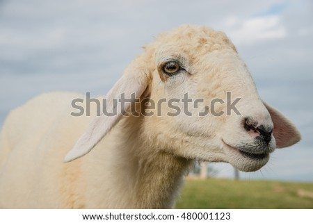 Sheep Portrait, close up face sheep in rural livestock farm