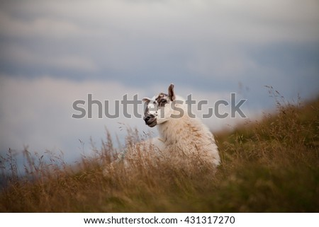 sheep portrait in  meadow in Scotland, Pentland Hills. - stock photo