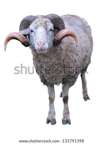 Sheep ram with horns over green grass background - stock photo