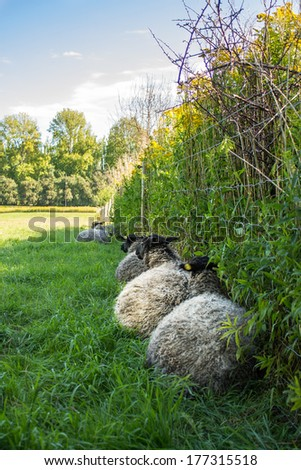 Sheep resting against fence in field of green grass and nature - stock photo