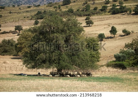 Sheep resting under a tree in summer time at Samothrace island - Greece - stock photo