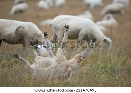 Sheep rolling on the ground