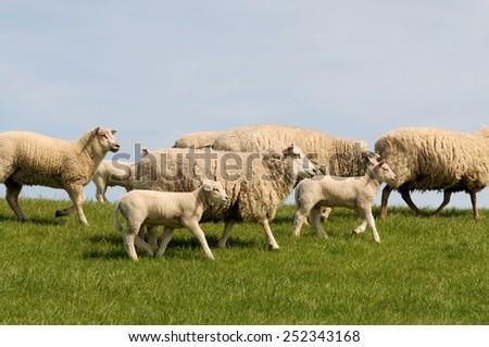 Sheep running - stock photo