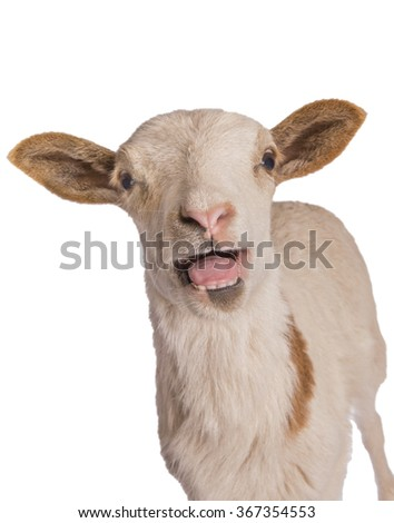Sheep screaming with mouth open isolated