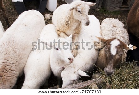 Sheep share a manger, family farm, Webster County, West Virginia, USA, sheep breed is Katahdin