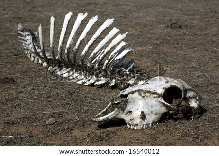 Sheep skull sitting on dead grass - stock photo