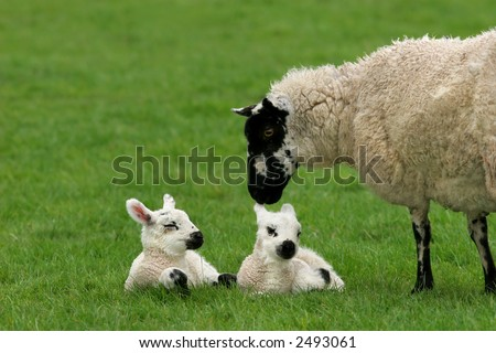 Sheep standing in a field in spring with her new born twins lying down next to her. - stock photo