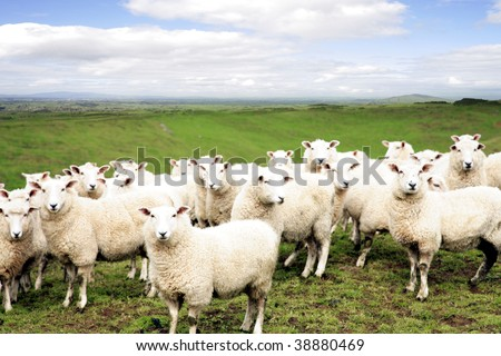 Sheep standing in paddock. Facing camera.