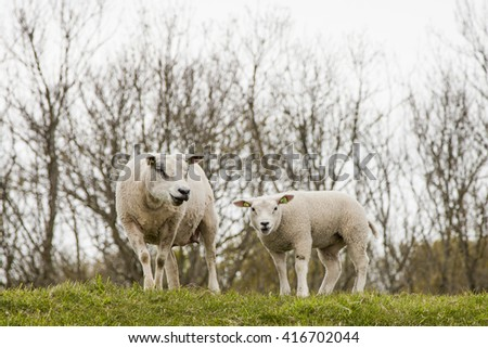 sheep standing in the landscape, the Netherlands, Zeeland
