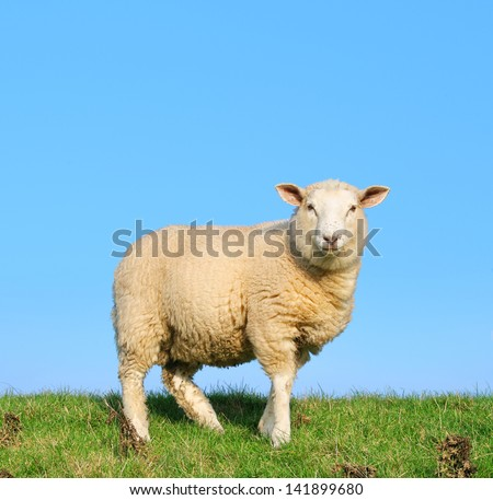 Sheep standing on seawall - stock photo