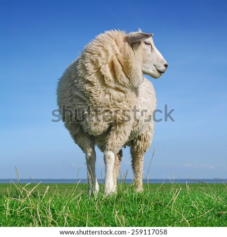 Sheep standing on seawall