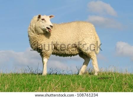 Sheep standing on seawall and streches the tongue