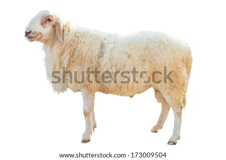 Sheep standing on white background - stock photo
