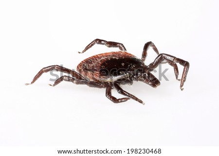 Sheep tick (Ixodes ricinus) specimen - angled side view, isolated on white - stock photo