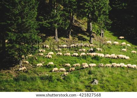 sheep walking on green grass in sun - stock photo